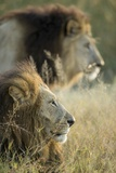 Male Lions, Moremi Game Reserve, Botswana Photographic Print by Paul Souders