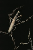 Mantis Religiosa (Praying Mantis) - Male with Female Photographic Print by Paul Starosta