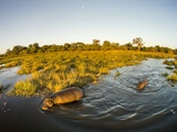 Aerial View of Hippopotamus at Sunset, Moremi Game Reserve, Botswana Photographic Print by Paul Souders
