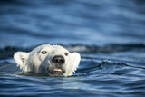 Polar Bear Swimming by Harbour Islands, Nunavut, Canada Photographic Print by Paul Souders
