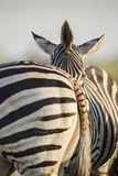 Plains Zebra Herd, Moremi Game Reserve, Botswana Photographic Print by Paul Souders