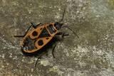Pyrrhocoris Apterus (Firebug) Photographic Print by Paul Starosta