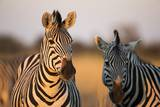 Plains Zebras at Sunset, Moremi Game Reserve, Botswana Photographic Print by Paul Souders