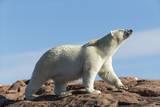 Polar Bear on Harbour Islands, Hudson Bay, Nunavut, Canada Reproduction photographique par Paul Souders
