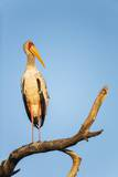 Yellow Billed Stork, Moremi Game Reserve, Botswana Reprodukcja zdjęcia autor Paul Souders