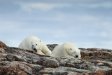 Polar Bears on Harbour Islands, Hudson Bay, Nunavut, Canada Photographic Print by Paul Souders