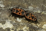 Pyrrhocoris Apterus (Firebug) Mating Photographic Print by Paul Starosta