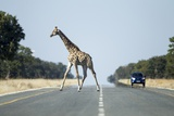 Giraffe Crossing Highway, Kasane, Botswana Photographic Print by Paul Souders