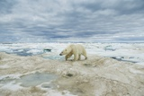 Polar Bear on Hudson Bay Sea Ice, Nunavut Territory, Canada Photographic Print by Paul Souders