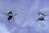 Gerris Lacustris (Common Pond Skater) - Young Larvae Photographic Print by Paul Starosta