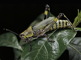 Zonocerus Variegatus (Elegant Grasshopper, Gaudy Grasshopper, Variegated Grasshopper) Photographic Print by Paul Starosta