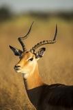 Impala, Moremi Game Reserve, Botswana Fotografisk tryk af Paul Souders