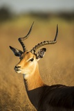 Impala, Moremi Game Reserve, Botswana Photographic Print by Paul Souders