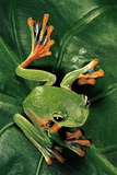 Rhacophorus Reinwardtii (Green Flying Frog) Photographic Print by Paul Starosta