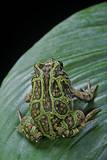 Scaphiophryne Madagascariensis (Madagascar Rain Frog) Photographic Print by Paul Starosta