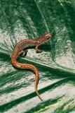 Hemidactylium Scutatum (Four-Toed Salamander) Reproduction photographique par Paul Starosta