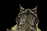 Megophrys Nasuta (Malayan Horned Frog, Long-Nosed Horned Frog, Malayan Leaf Frog) Photographic Print by Paul Starosta