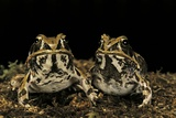 Hildebrandtia Ornata (Ornate Frog) Photographic Print by Paul Starosta