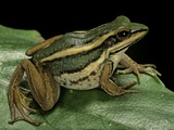 Hylarana Erythraea (Common Green Frog, Leaf Frog) Photographic Print by Paul Starosta
