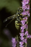 Polistes Dominula (European Paper Wasp) Photographic Print by Paul Starosta