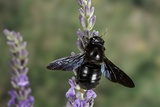 Xylocopa Violacea (Violet Carpenter Bee) Photographic Print by Paul Starosta