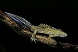 Ommatotriton Vittatus (Southern Banded Newt) Papier Photo par Paul Starosta