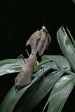 Deroplatys Desiccata (Giant Dead Leaf Mantis) Photographic Print by Paul Starosta