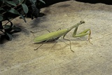 Mantis Religiosa (Praying Mantis) - on Stone Photographic Print by Paul Starosta