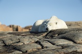 Polar Bear Sleeping on Harbour Islands, Hudson Bay, Nunavut, Canada Photographic Print by Paul Souders