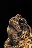 Bufo Americanus (Eastern American Toad) Photographic Print by Paul Starosta