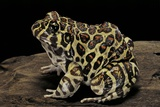 Leptodactylus Laticeps (Santa Fe Frog) Photographic Print by Paul Starosta