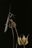 Ameles Decolor (Praying Mantis) Photographic Print by Paul Starosta