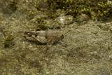 Oedipoda Caerulescens (Blue-Winged Grasshopper) Photographic Print by Paul Starosta