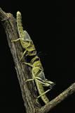 Schistocerca Gregaria (Desert Locust) - Larvae in Gregarious Form Photographic Print by Paul Starosta