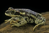 Rhinella Spinulosa (Warty Toad) Photographic Print by Paul Starosta