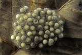 Trichobatrachus Robustus (Hairy Frog) - Eggs Photographic Print by Paul Starosta