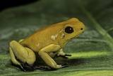 Phyllobates Terribilis (Golden Poison Frog) Photographic Print by Paul Starosta