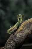 Mantis Religiosa (Praying Mantis) - in Defensive Posture, Threat Display Photographic Print by Paul Starosta