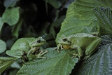 Hyla Meridionalis (Mediterranean Tree Frog) - Pair Photographic Print by Paul Starosta