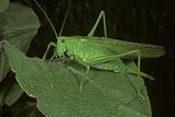 Tettigonia Viridissima (Great Green Bush-Cricket) - Female Photographic Print by Paul Starosta