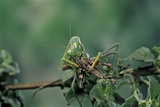 Mantis Religiosa (Praying Mantis) - Feeding on a Grasshopper Photographic Print by Paul Starosta
