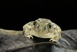 Spea Bombifrons (Plains Spadefoot Toad) Photographic Print by Paul Starosta