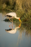 Yellow Billed Stork, Moremi Game Reserve, Botswana Photographic Print by Paul Souders