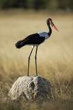 Saddle-Billed Stork , Moremi Game Reserve, Botswana Photographic Print by Paul Souders