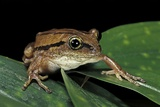 Leptopelis Bocagii (Bocage's Tree Frog) Photographic Print by Paul Starosta