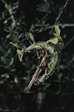 Extatosoma Tiaratum (Giant Prickly Stick Insect) - Mating Photographic Print by Paul Starosta