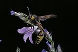 Delta Unguiculatum (Mud Dauber Wasp) Photographic Print by Paul Starosta