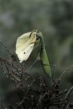 Mantis Religiosa (Praying Mantis) - Feeding on a Butterfly Photographic Print by Paul Starosta