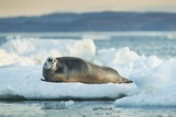 Bearded Seal, Nunavut Territory, Canadabearded Seal on Sea Ice in Hudson Bay, Nunavut, Canada Photographic Print by Paul Souders