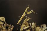 Mantis Religiosa (Praying Mantis) - Larva Photographic Print by Paul Starosta